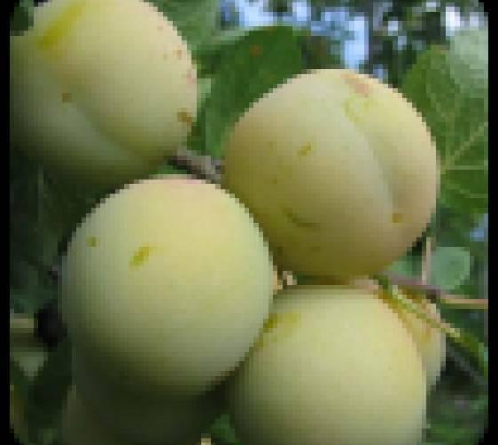 Особенности выращивания сливы сорта анна шпет и ухода за ней