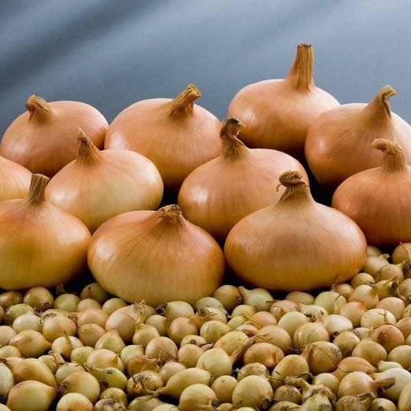 Лук штутгартер ризен: выращивание из семян