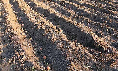 Посадка картофеля в гребни. особенности процедуры