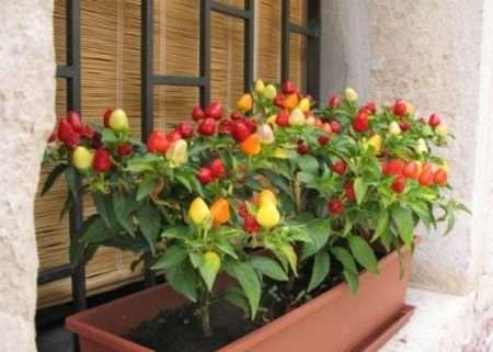 Как вырастить хорошую рассаду томатов, перца и баклажанов в домашних условиях