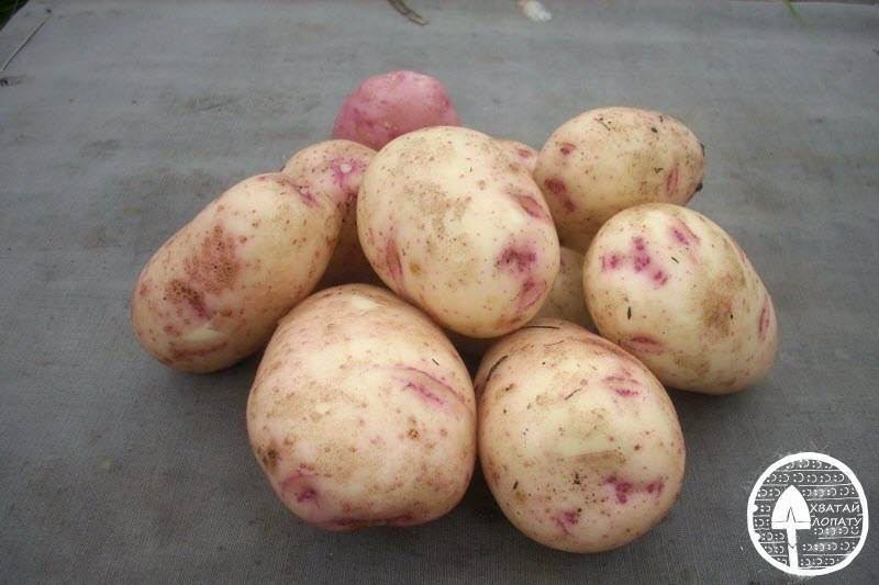 Картофель аврора описание сорта фото
