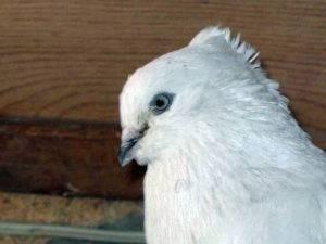 Андижанские бойные голуби