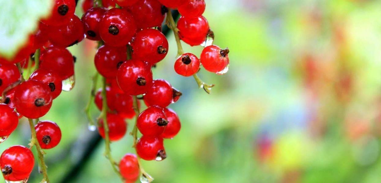 Смородина красная Татьяна: описание сорта, фото, отзывы