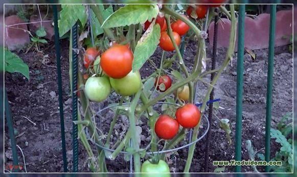 Особенности выращивания помидоров на урале в теплице