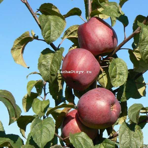 Декоративная яблоня пионерка