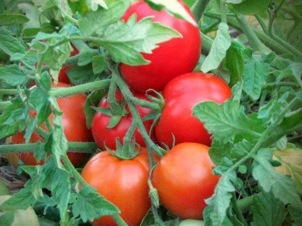 """Томат """"король рынка"""": описание сорта, характеристики плодов-помидоров, рекомендации по уходу и выращиванию"""