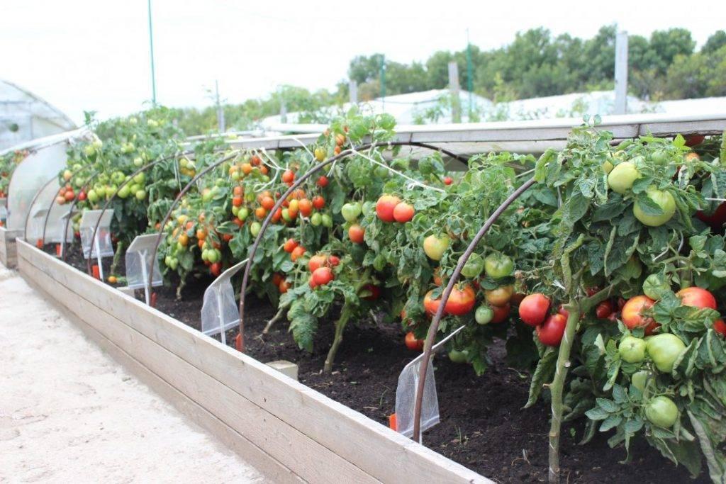 Подкормка помидоров во время цветения и плодоношения