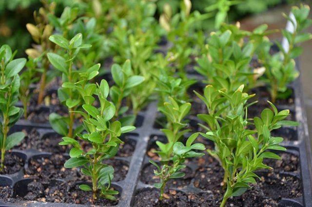 Самшит. уход и размножение в открытом грунте - green-diz