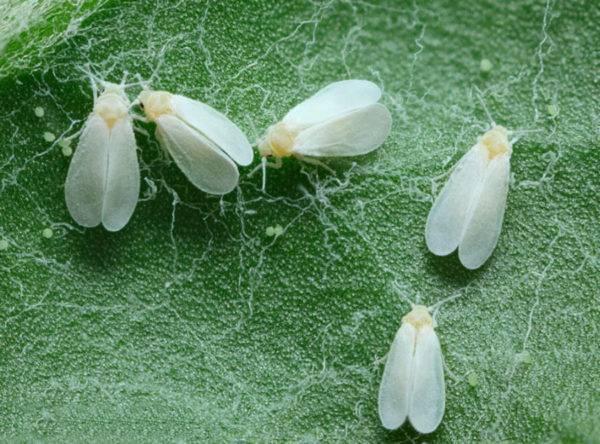 Чем обработать теплицу от белокрылки: боремся с вредоносным насекомым