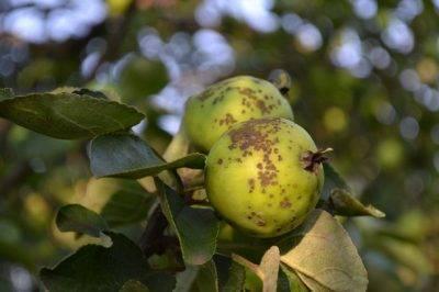 Лечим яблоню от парши народными и химическими средствами