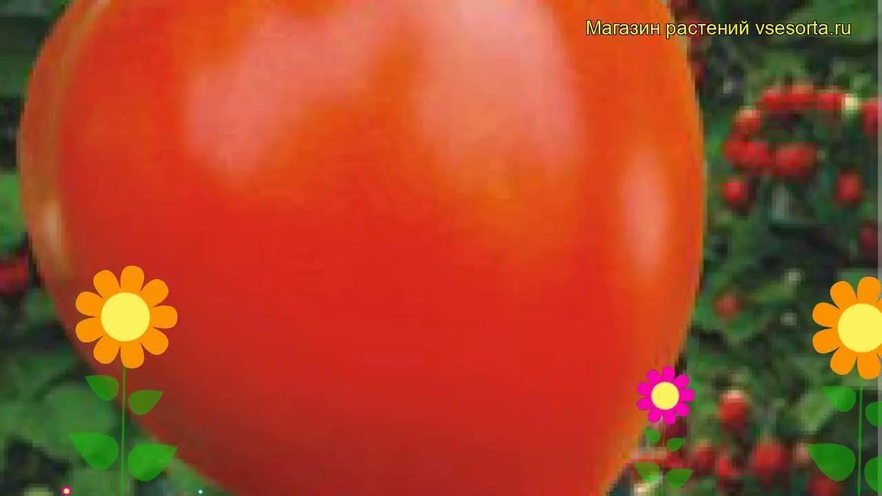 Сорт томата «клубничное дерево»: описание, характеристика, посев на рассаду, подкормка, урожайность, фото, видео и самые распространенные болезни томатов