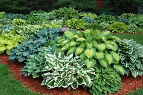 Сорта и виды хост: голубая, как цветет хоста, голден медоуз, либерти белая