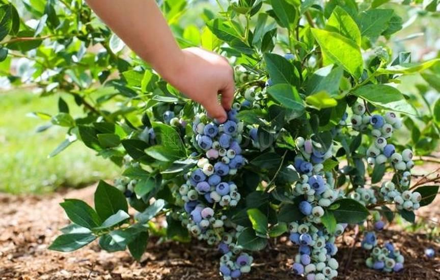 Как вырастить голубику из семян