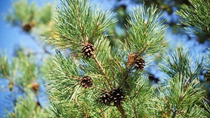 Лечебные свойства лиственницы сибирской