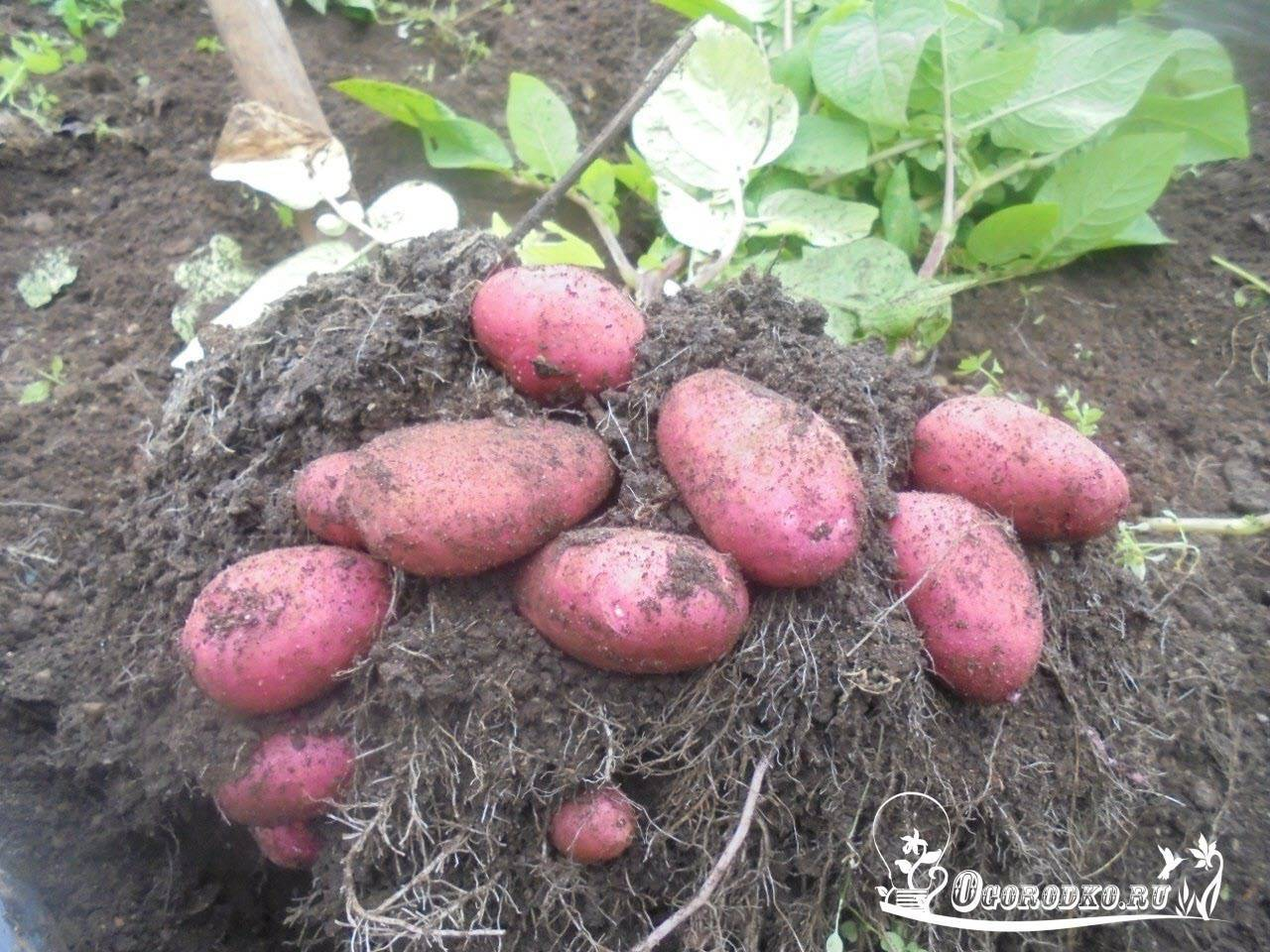 Картошка ред скарлет — оосбенности растения и плодов