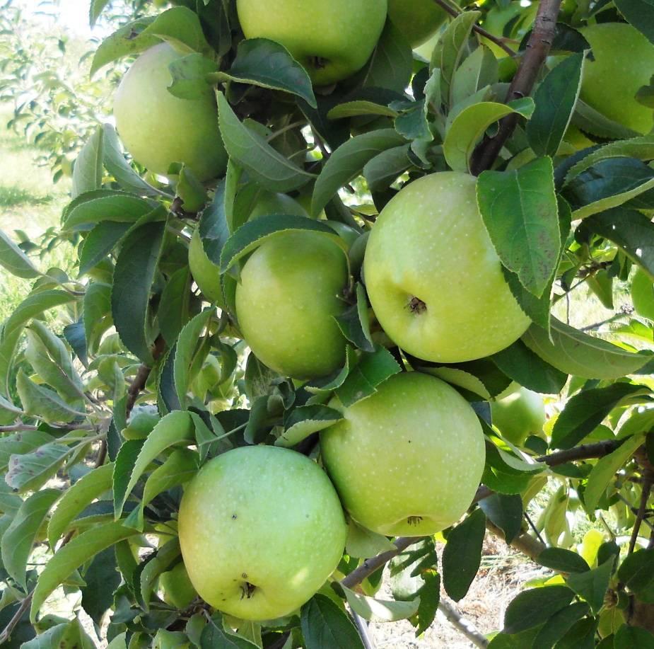 Яблоки «семеренко»: описание сорта, фото, отзывы