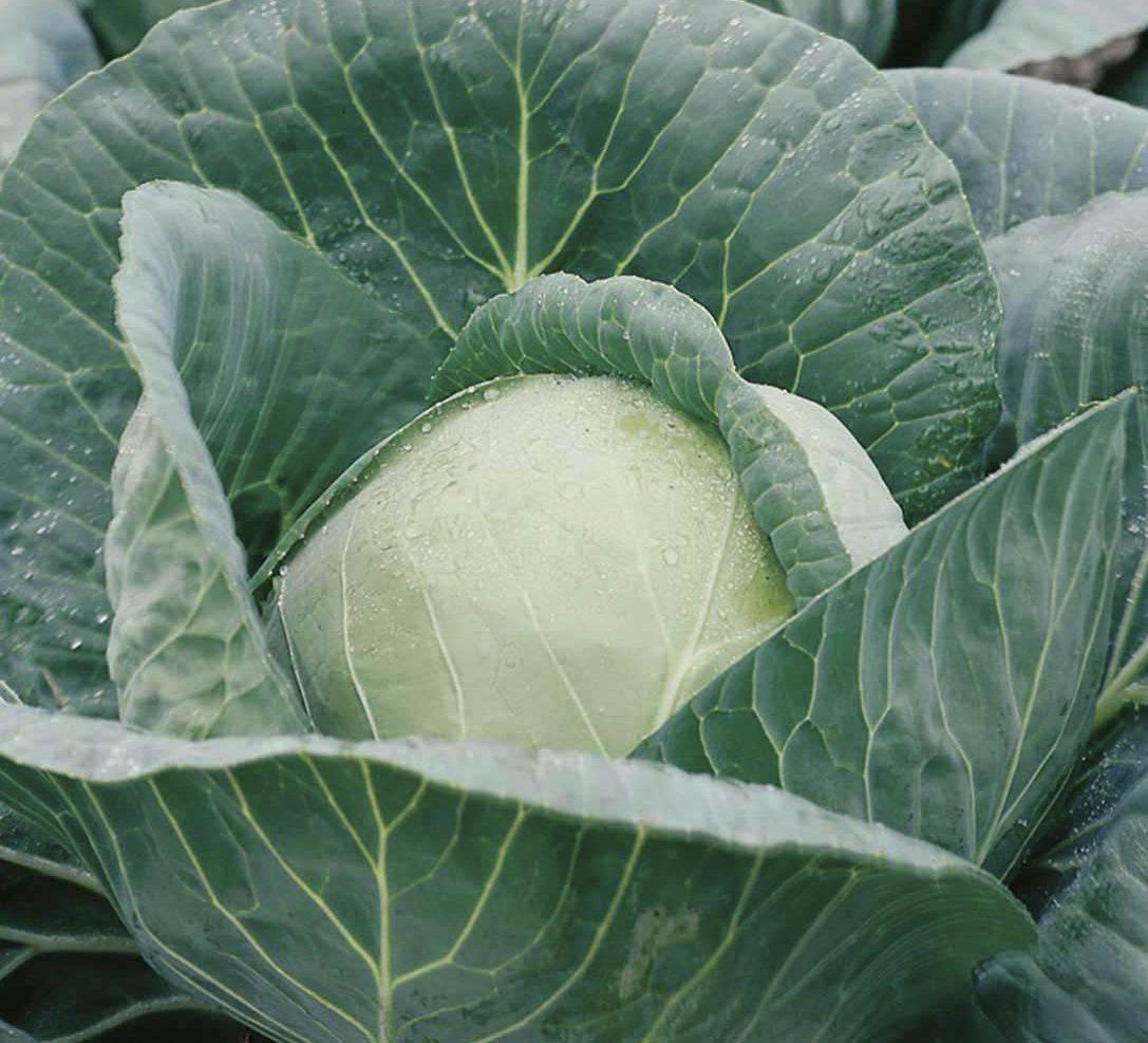 Особенности выращивания сорта капусты парел f1