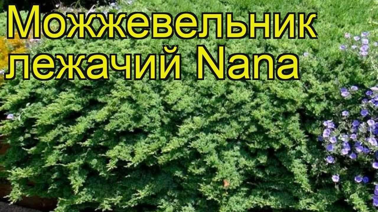 Можжевельник лежачий Нана