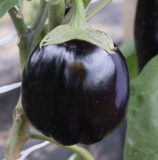 Баклажаны — выращивание и сорта