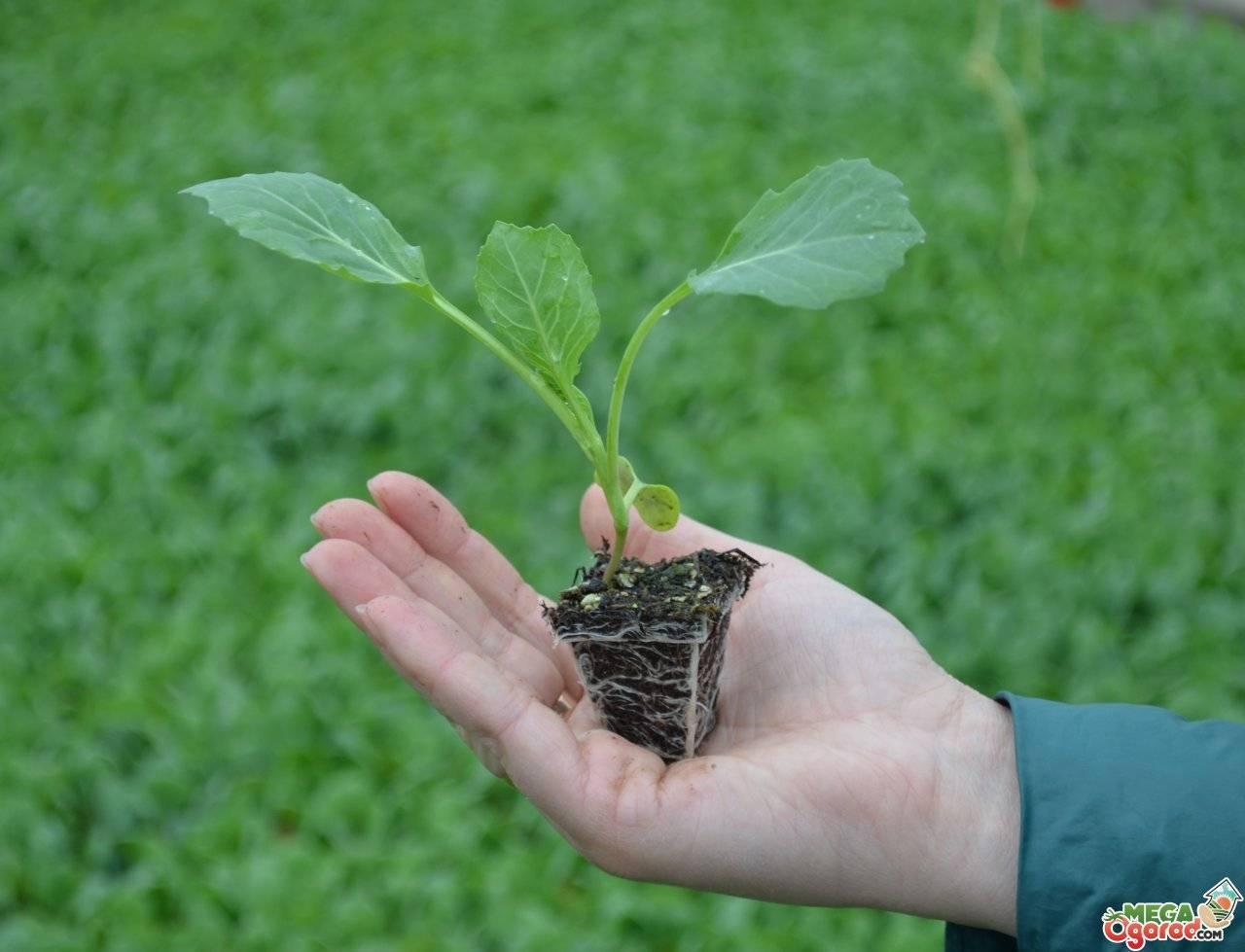 Плотная капуста сахарная голова. как выглядит, особенности выращивания, положительные и отрицательны стороны