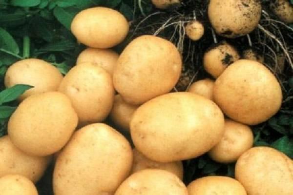 Картофель сорта рогнеда: характеристика, особенности выращивания, отзывы