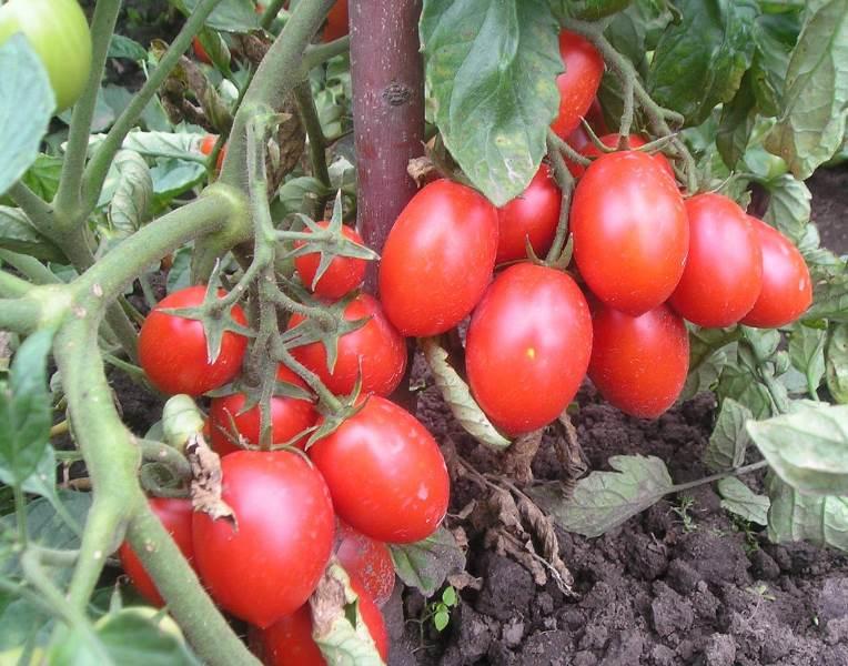 Для всех регионов россии – неприхотливые и урожайные помидоры челнок