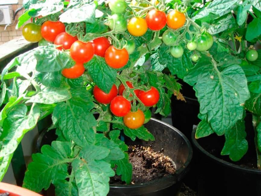 Выращивание томата пиноккио  на подоконнике дома и на балконе, описание этого карликового сорта помидоров, а также основные правила ухода за ним