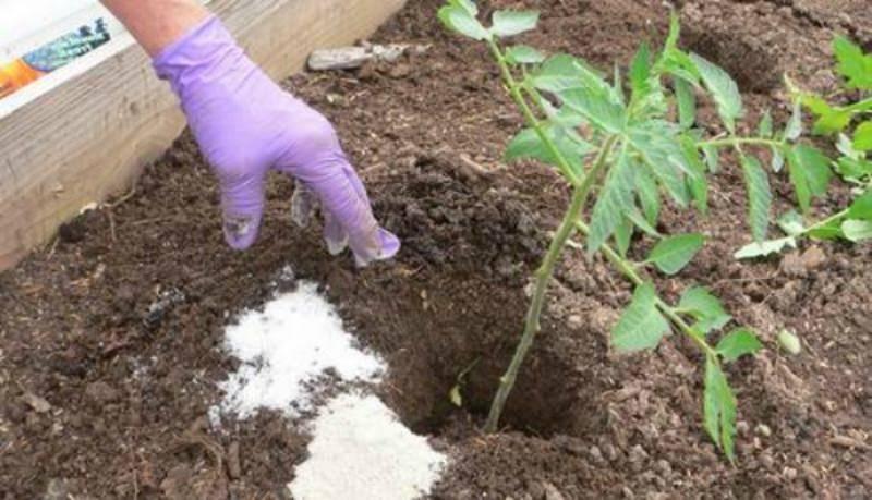 Особенности высадки помидоров в теплицу на урале