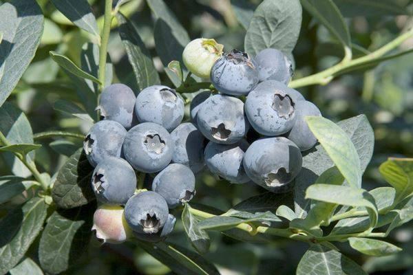 Голубика Бригитта Блю (Brigitta Blue): описание сорта, отзывы, фото