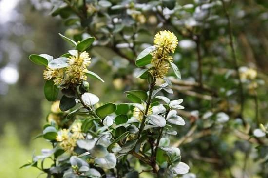 Самшит: посадка, выращивание и уход в открытом грунте
