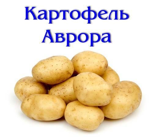 Отечественный сорт картофеля «аврора» для получения богатого вкусного урожая