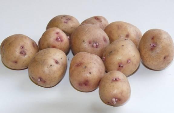 Картофель рябинушка описание сорта фото
