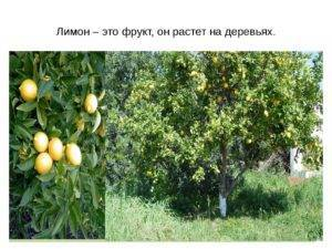 Лимон это фрукт или овощ