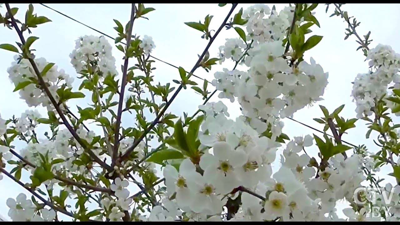 Обработка сливы весной от вредителей: советы и правила