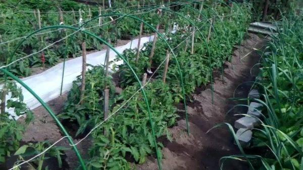 Сроки и особенности высадки помидоров в теплицу в сибири
