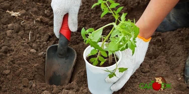 Выращивание помидоров на урале: какие сорта лучше сажать и как ухаживать?