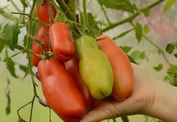 Подробная характеристика сорта томата аурия и описание особенностей