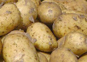 Картофель невский: описание сорта, фото, отзывы