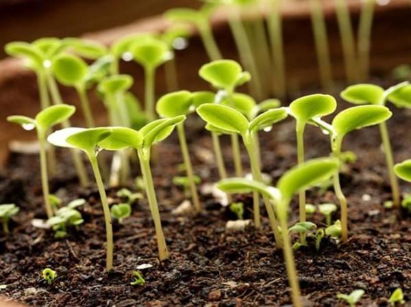 Особенности посадки пророщенных семян помидоров. как избежать возможных ошибок?