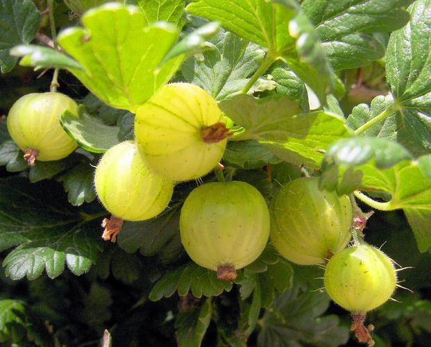 Крыжовник зелёный дождь: характеристика, особенности выращивания и размножения