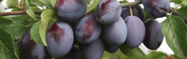 Ароматная слива стенли: секреты выращивания заокеанского сорта