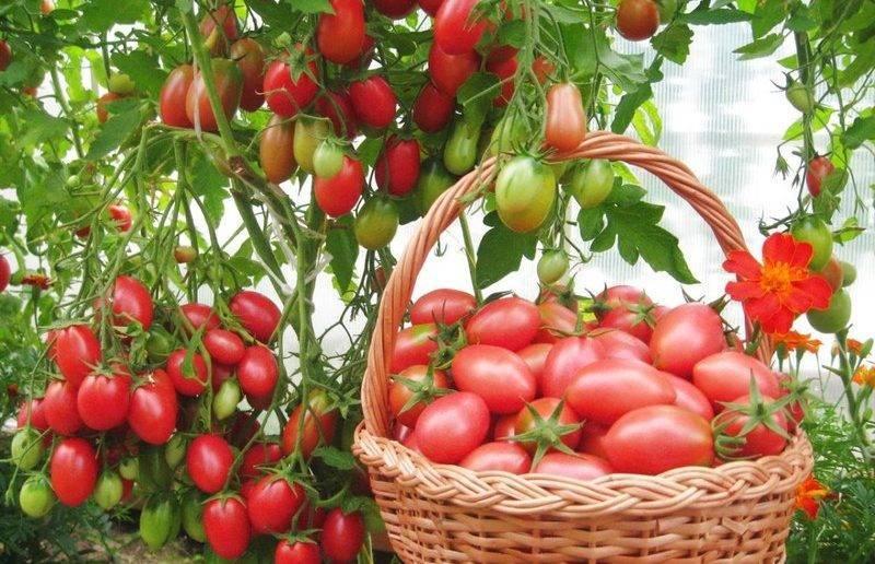 Лучшие сорта низкорослых томатов для открытого грунта без пасынкования