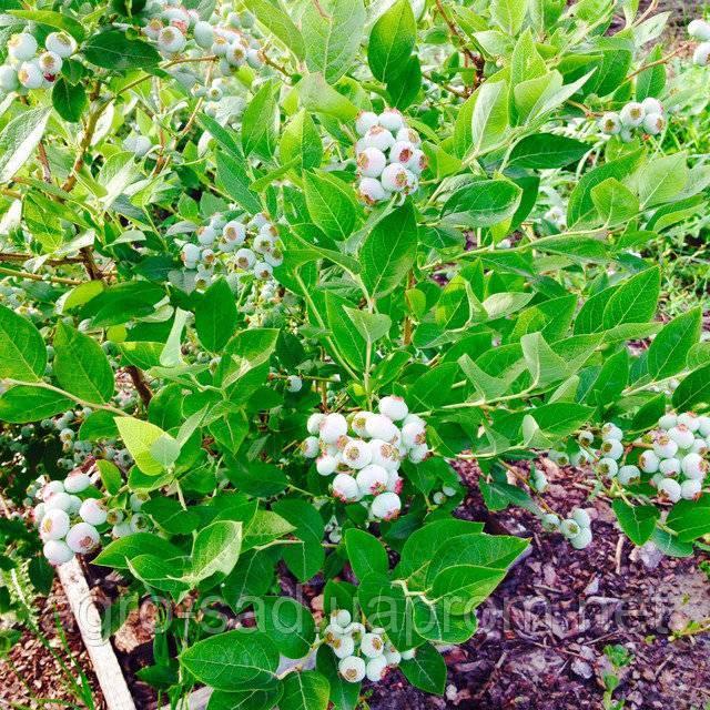 Голубика нельсон: характеристика сорта и правила выращивания