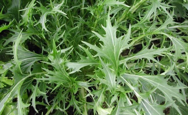 Как растёт капуста японская мизуна?