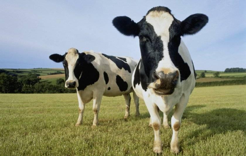 Понос у коров: причины и лечение 2020