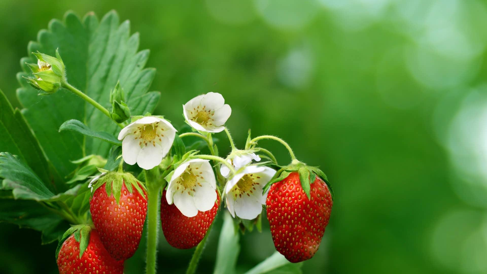 Чем подкормить садовую землянику: меню для «королевы» огорода
