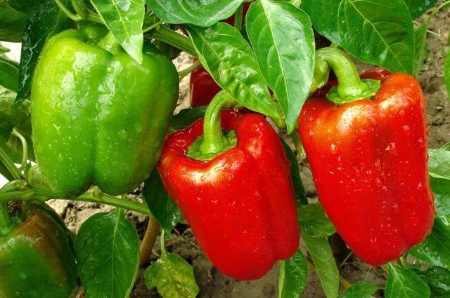 Перец здоровье характеристика и описание сорта