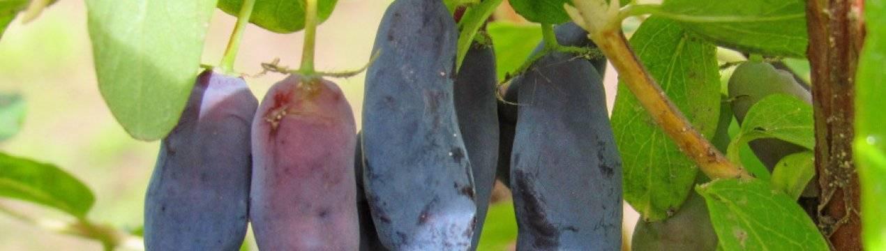 """Ранние сорта баклажанов: популярные """"синенькие"""" и необычной формы и окраски"""