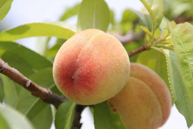 Персик лебедев — описание сорта и отзывы садоводов