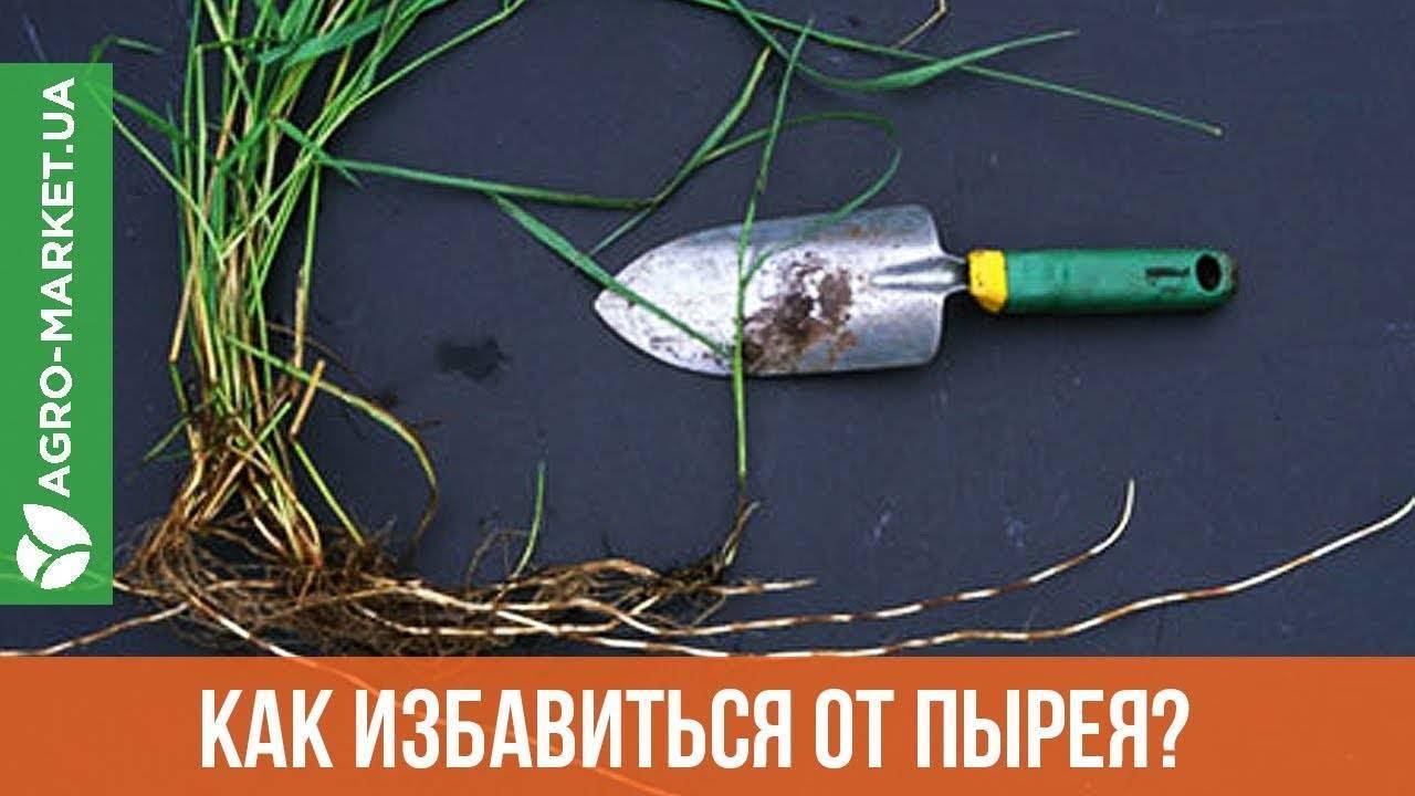Как избавиться от пырея на огородном участке навсегда